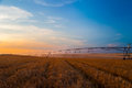 Irrigation pivot on the wheat field at sunset Royalty Free Stock Photo