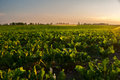 Irrigation of sugar beet agricultural field on sunny summr day Stock Photography