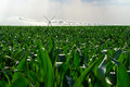 Irrigation system in corn field on hot dry summer day Royalty Free Stock Photo
