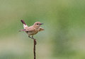 Isabelline wheatear an adult perched on its favourite perch in bulgaria Stock Photos