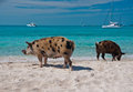 Island pigs wild on big majors in the bahamas lounging and walking around in the sand and ocean Royalty Free Stock Photo