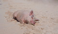 Island pigs wild on big majors in the bahamas lounging and walking around in the sand and ocean Stock Photography