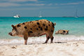 Island pigs wild on big majors in the bahamas lounging and walking around in the sand and ocean Royalty Free Stock Photos