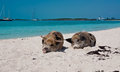 Island pigs wild on big majors in the bahamas lounging and walking around in the sand and ocean Stock Photo
