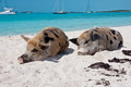 Island pigs wild on big majors in the bahamas lounging and walking around in the sand and ocean Stock Image