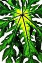 Isolado verde da folha (folha da papaia) Fotografia de Stock Royalty Free