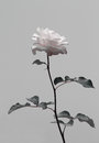 Isolate flower, pink rose in black and white contrast. Royalty Free Stock Photo