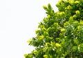 Isolate leaf on tree on white background Royalty Free Stock Photos