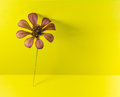 Isolate picture of compositas family flower on yellow screen Royalty Free Stock Photo