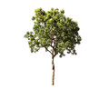 Isolate tree Royalty Free Stock Photo