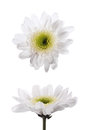 Isolate two white chrysanthemum flowers template Stock Photos