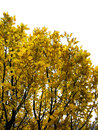 Isolate yellow trees in autumn day Royalty Free Stock Photo