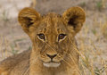 An isolated adolescent lion cub looking straight ahead Royalty Free Stock Photo