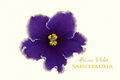 Isolated African violet flower