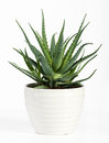 stock image of  Isolated Aloe Vera Plant on White Pot