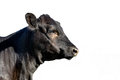 Isolated Angus heifer head profile Royalty Free Stock Photo