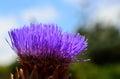 Isolated artichoke flower Royalty Free Stock Photo