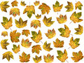 Isolated autumnal maple leaves on white background Stock Photography