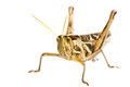 Isolated of big Grasshopper Royalty Free Stock Photos