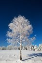 Isolated birch tree covered with fresh snow on a beautiful sunny day Royalty Free Stock Photos
