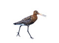 Isolated black tailed godwit over white the limosa limosa is a large long legged long billed shorebird first described by carolus Royalty Free Stock Photo