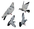 Isolated black and white dove motions Royalty Free Stock Photo