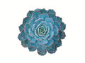 isolated blue echeveria Royalty Free Stock Photo