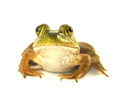 Isolated bullfrog on a white background Stock Photo