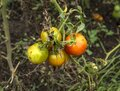 Four small unripe green and red tomatoes hanging on vine in garden Royalty Free Stock Photo