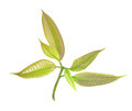 Isolated bunch of green mango leaves cut out white background Stock Photo