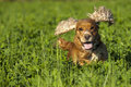Isolated cocker spaniel running to you in grass background on green Royalty Free Stock Photography