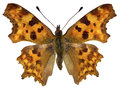 Isolated Comma Butterfly