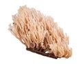 Isolated coral fungi Royalty Free Stock Photo