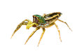 Isolated cosmophasis umbratica jumping spider Stock Photo