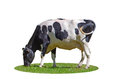 Isolated cow grazing in the meadow Royalty Free Stock Photo