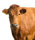 Isolated cow portrait Royalty Free Stock Photo