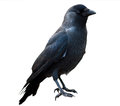 Isolated crow Royalty Free Stock Photo