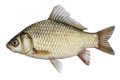 Isolated crucian carp, a kind of fish from the side. Live fish with flowing fins. River fish.