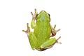 Isolated cute european tree frog Royalty Free Stock Photo