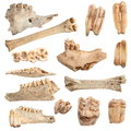 Isolated different animal bones Royalty Free Stock Photo