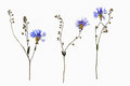 Isolated dried out cornflower blossoms with forget-me-not flower stem Royalty Free Stock Photo