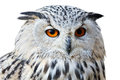 Isolated eagle owl with his big and beautiful oranges eyes portrait of Stock Photos