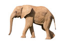 Isolated elephant against a white background Royalty Free Stock Photos