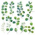 Isolated eucalyptus elements. Green leaves illustration. Watercolor foliage, botanical art.