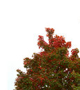 Isolated Fall Tree Top Royalty Free Stock Photos