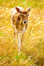 An isolated fallow deer in sunset fossil rim wild center glen rose texas usa Royalty Free Stock Photo