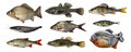 Isolated fish collection set Royalty Free Stock Photo