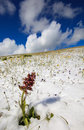 Isolated flower in the snow mountain pink Stock Image
