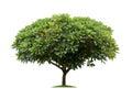 Isolated frangipani or plumeria tree on white background Royalty Free Stock Photo