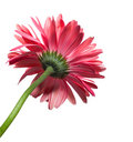 Isolated Gerbera Daisy Royalty Free Stock Photo